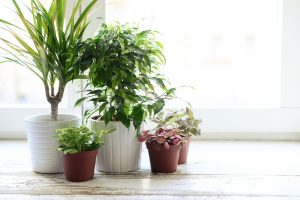 Beautify your homes taking advantage of good luck indoor plants