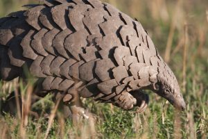 Siliguri: Five from Sikkim held with dead pangolin