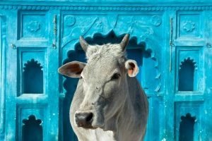 Gau Dhaba: For love of the cow