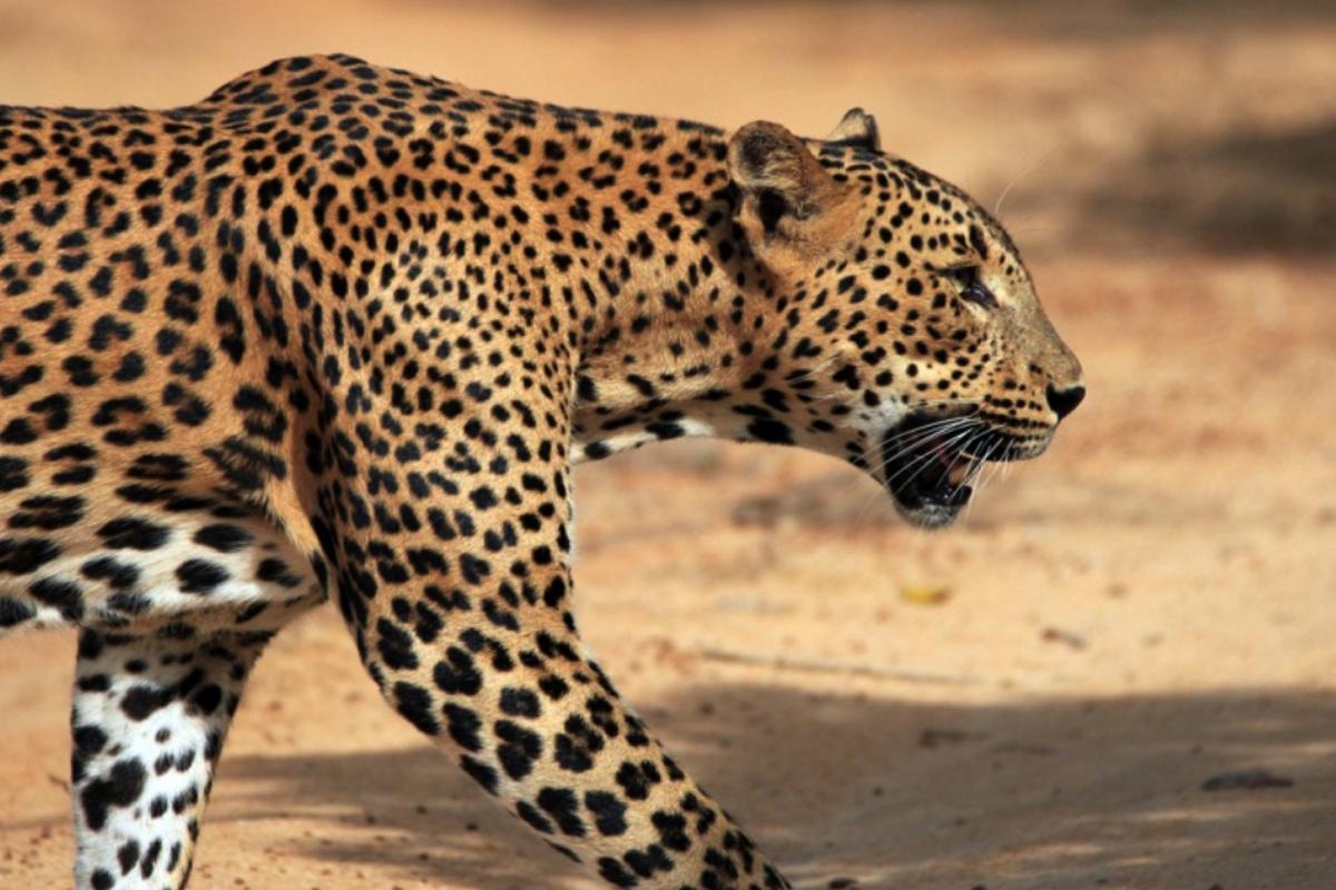 Kurseong, leopard fear