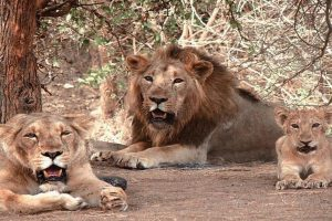 Gir National Park to remain shut for four months from Sunday