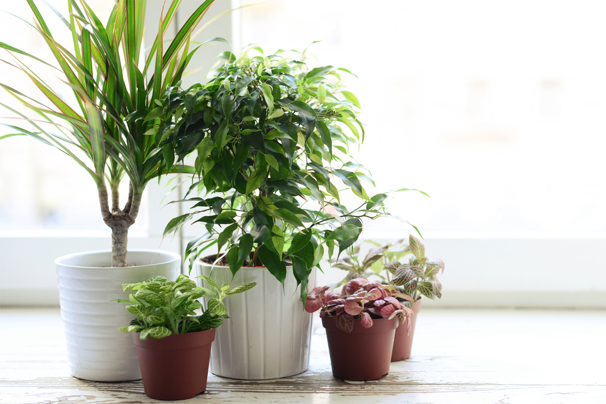 Symbol of luck, Money Plant, Lucky bamboo, Potted orchids, Palms, Basil