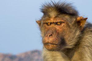 Pankpal worships Hanuman for respite from monkey attacks