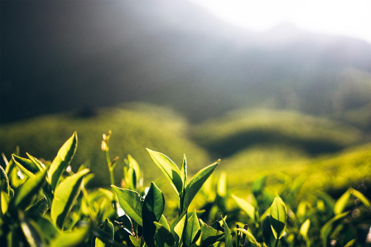 Panchagarh Upozila, Indo Bangladesh border, CISTA, Bangladesh Tea Board, Bangladesh exports tea