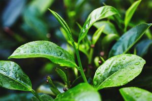 Lashing rains hit tea gardens
