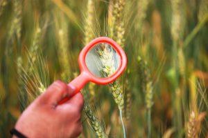 Engineered wheat