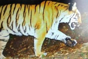 In rare feat, tiger clicked heading to snowbound area of Kedarnath sanctuary