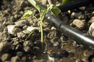 Punjab to bring 1,000 acres under micro-irrigation