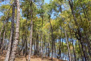 Uttarakhand to produce green power from pine needles