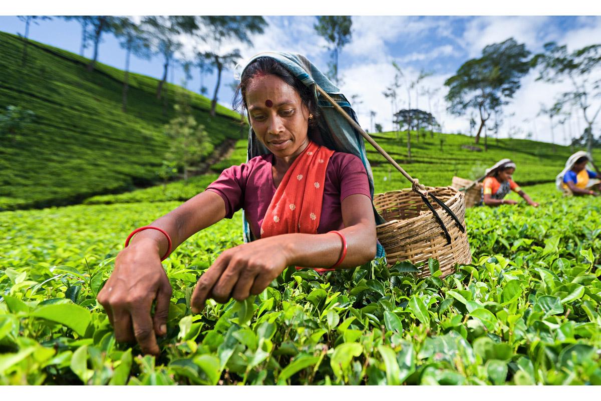 Nirmala Sitharaman, Tea Association of India, agriculture, tea industry