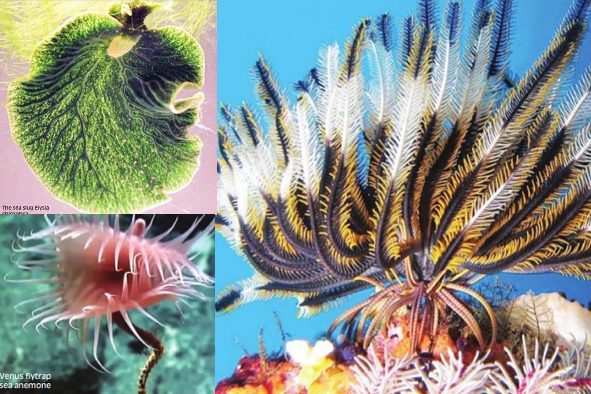 Mesodinium chamaeleon, Maneka Gandhi, Elysia chlorotica,