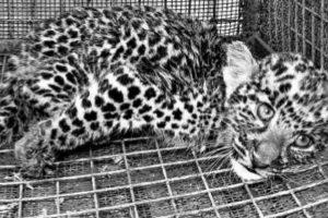 Leopard cub rescued in Alipurduar tea garden