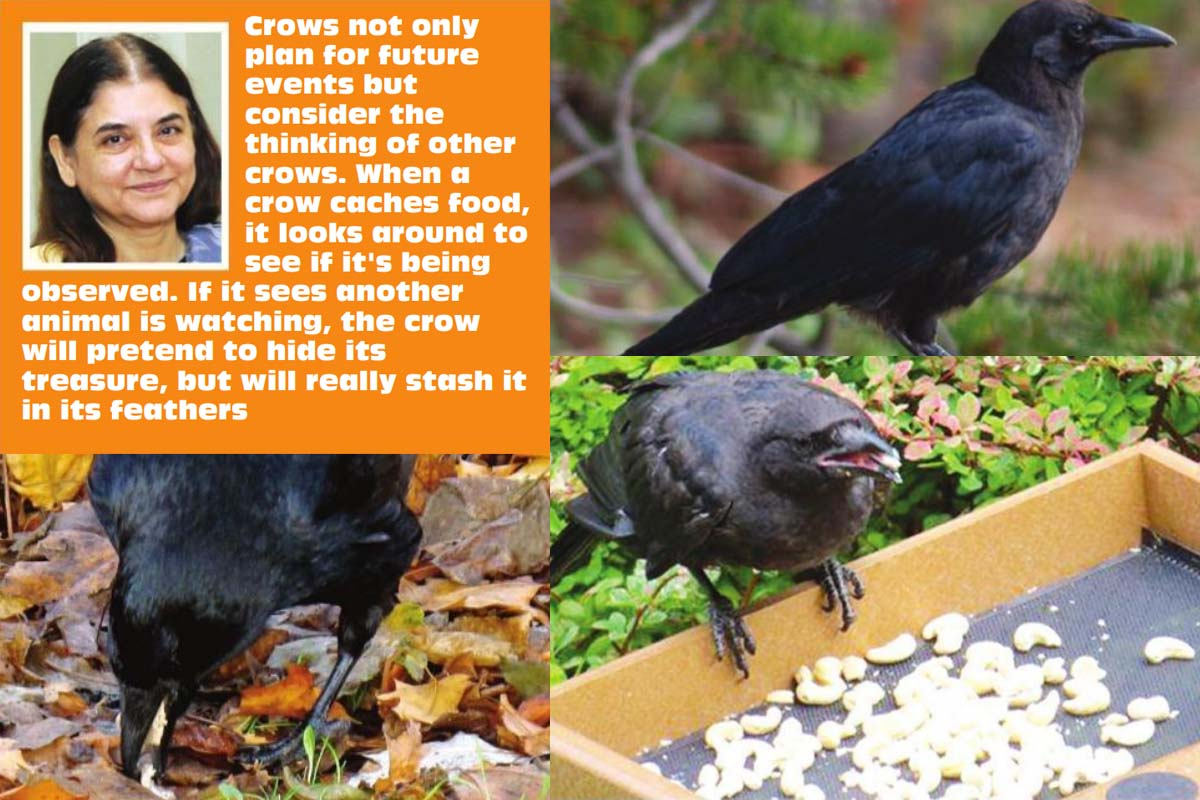 crows, peanuts, rice, fruit, Gabi Mann, journal Science, researchers, Ravens, quokkas