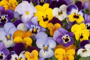 Aster, Marigold, Hollyhock, Clarkia, Pansy, Salvia, Sweet peas, Winter flowering plants