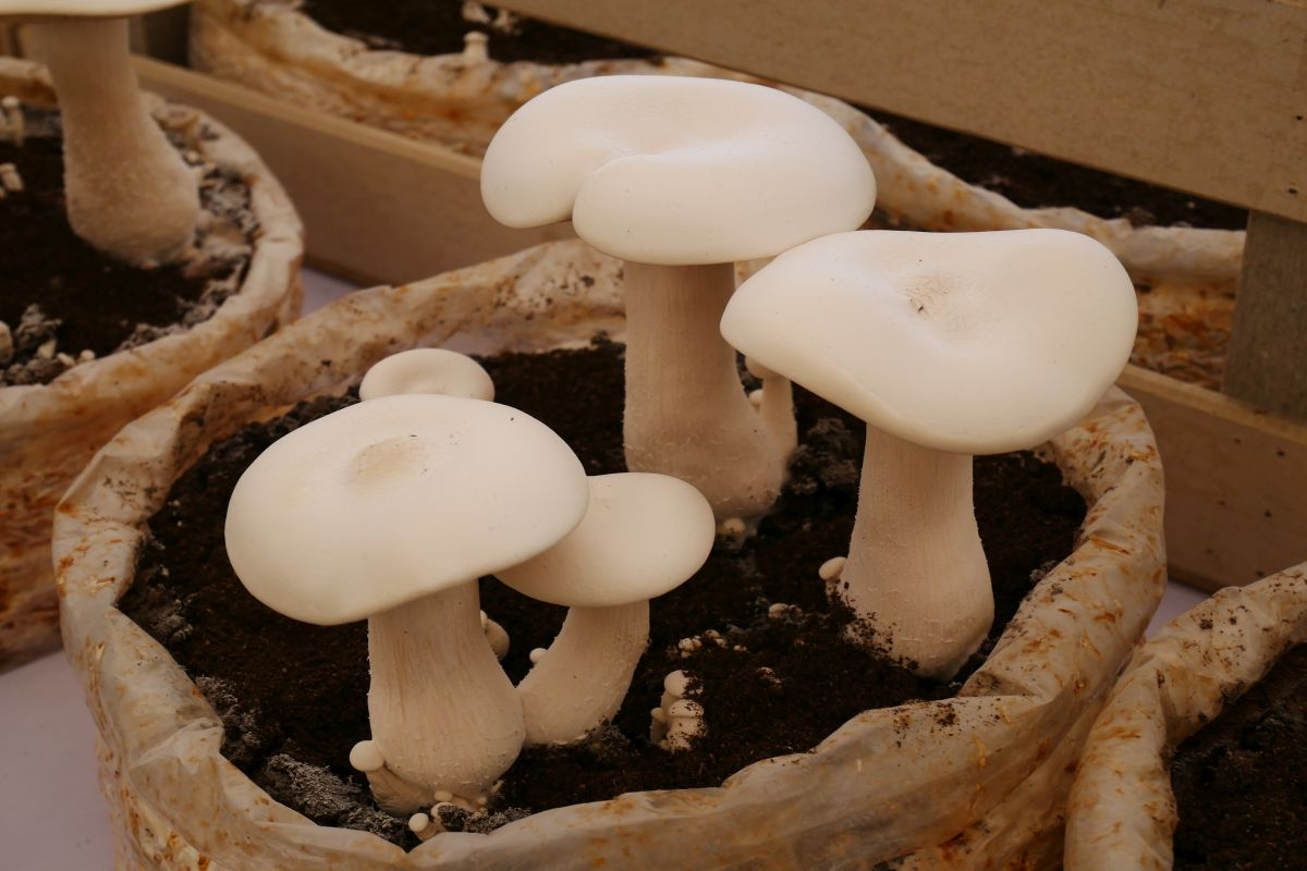 Mushrooms, cancer, Shu Zhang, Cancer risk, prostate cancer