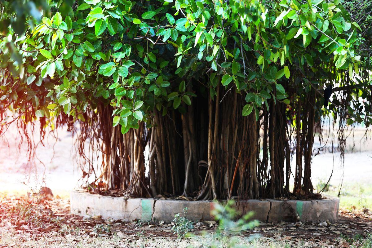 tulsi, banyan tree, banana tree, peepal tree, Hinduism, sacred, healthy, divine, Shiva, Brahma, Vishnu