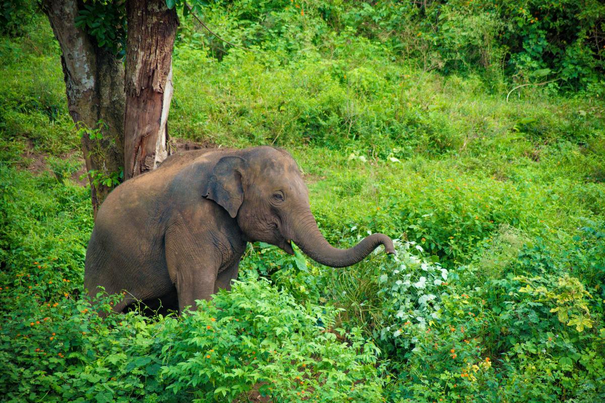 Baby elephant 'Durga' to be Dudhwa mascot