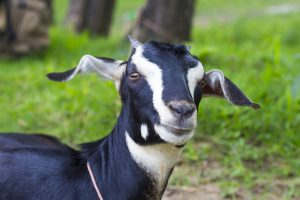 Govt to start largescale breeding of Black Bengal goat