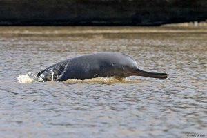 Dolphin fleeing Ganga filth dies