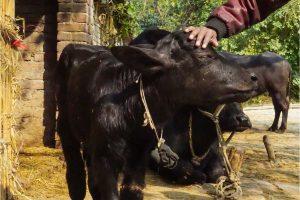 Haryana bags Global Agriculture Award 2019 for animal husbandry