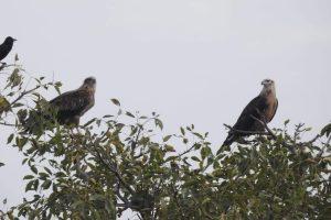Why Pallas's fish eagle pair is big attraction at Asan this season?