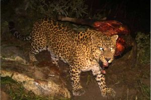 Man-eater leopard captured in camera trap, search operation intensified in Ruderprayag's far-flung villages