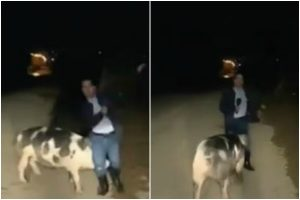 Pig chases reporter on live TV; netizens post hilarious comments