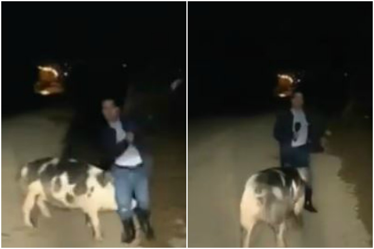 Journalist interrupted by pig while reporting on floods; Twitterati burst into laughter!