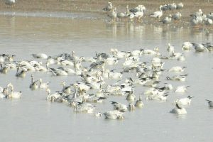 Rajasthan: 1500 migratory birds found dead around Sambhar Lake