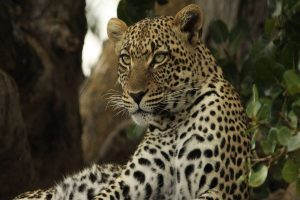 Leopard enters residential area, triggers panic in Aurangabad