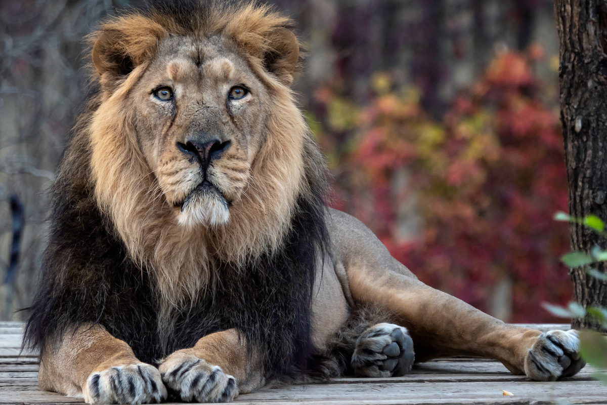 Gujarat lions to roar in Himachal zoo after a gap of 3 years
