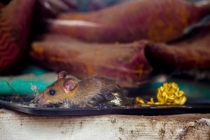9 students fall sick as dead rat found in mid-day meal at UP school