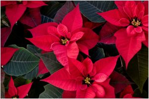 Tips to grow Poinsettia indoors or outdoors for a sensational colour impact during winter