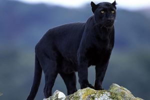 Black panthers spotted in Buxa forest