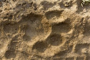Forest officials confirm tiger pugmarks in Bankura
