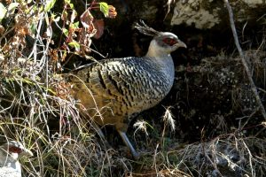 Forest department thrilled by spotting big population of Cheer Pheasant at Chirbatiya