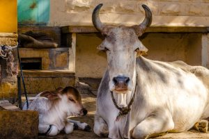 Junior engineer, executive officer booked after cow dies in shelter home due to cold in UP