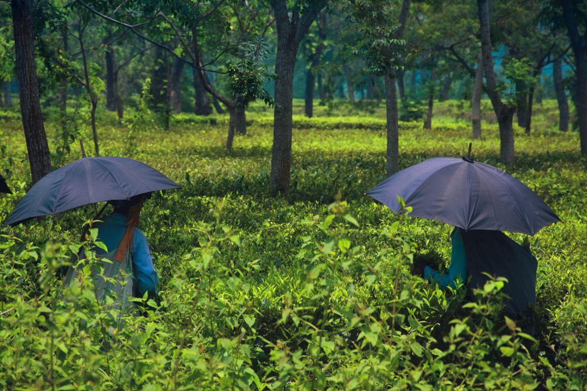 tea wage hike, Alipurduar, Moloy Ghatak, Patlakhawa village