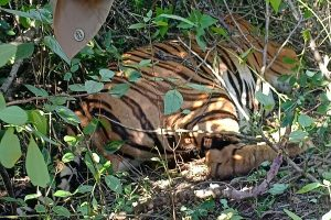 Tiger carcass found in Goa forest, probe underway