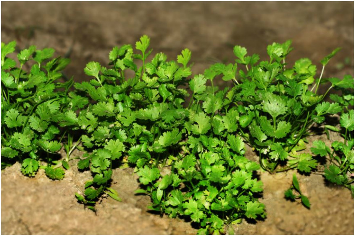 Mint leaves, Cilantro, Holy basil, Neem leaves, Curry leaves, Health benefits