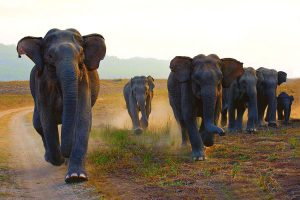 Bankura: New jumbo herd creates havoc