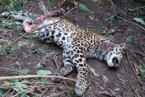 Territorial fight, tiger kills leopard in Rajaji Tiger Reserve