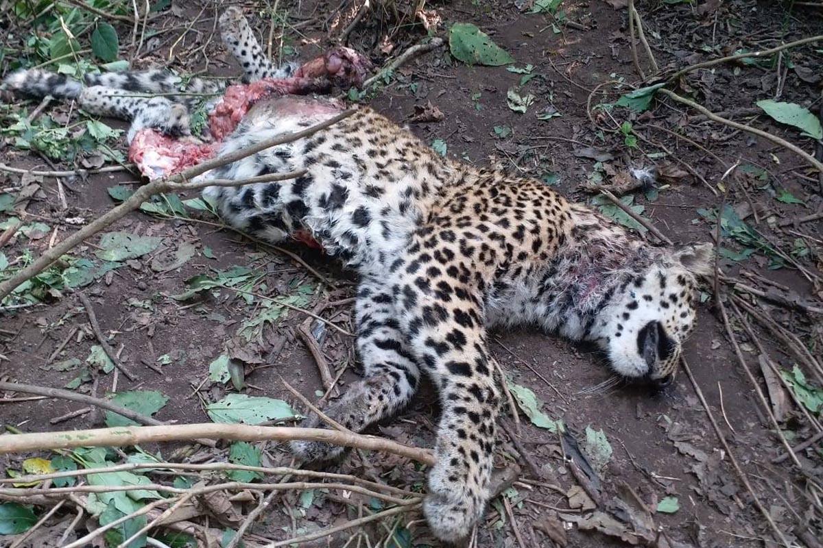 Tiger, Leopard, Rajaji Tiger Reserve, Dehradun, Pauri, Uttarakhand