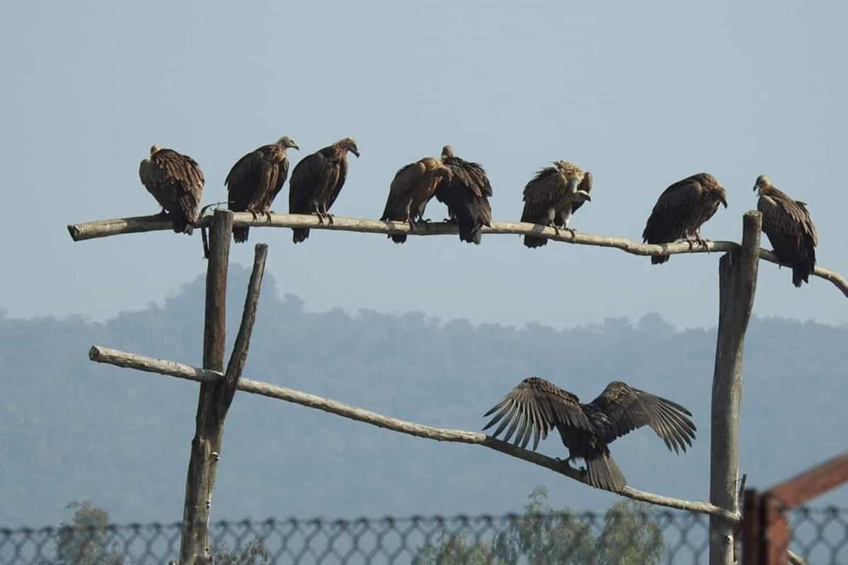 'Restaurant' for vultures in HP wild life sanctuary