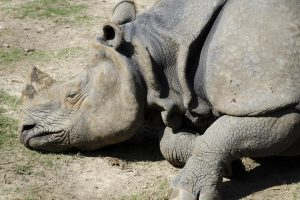 One more rhino dies at Sishamari forest area in Jaldapara park