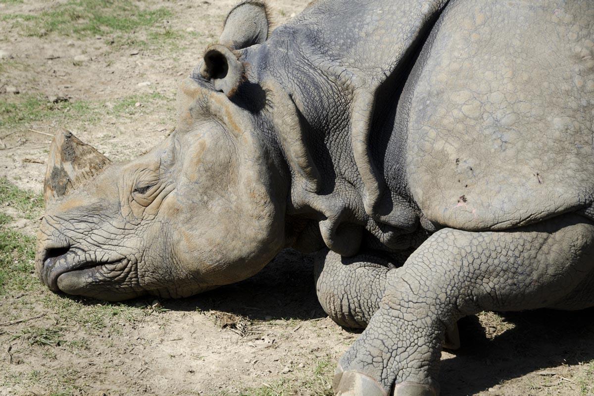 One more rhino dies at Sishamari forest area in Jaldapara park