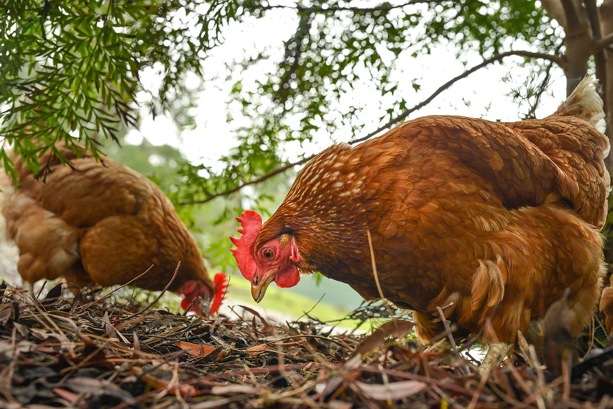 Coronavirus, Chicken, India