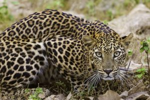 Leopard sighted near District Magistrate residence in Udham Singh Nagar