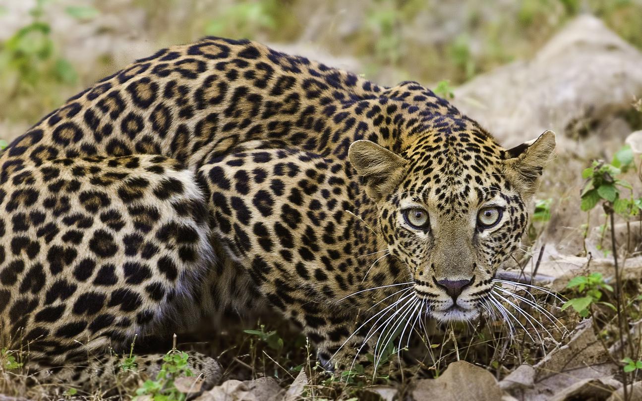 Leopard, Udham Singh Nagar, Dehradun, Forest department