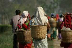 Unpaid wages: Morcha union threatens to stop tea plucking